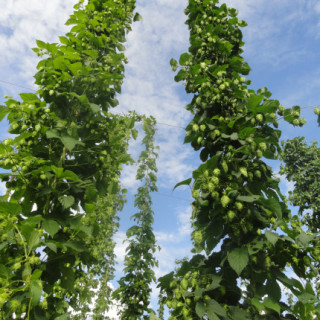 Hops to the Sky!