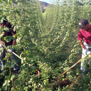 Hoeing hops at High Wire Hops Farm